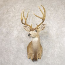 Desert Mule Deer Shoulder Mount For Sale #22180 @ The Taxidermy Store