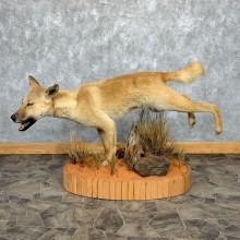 Dingo Life-Size Mount For Sale #21269 @ The Taxidermy Store