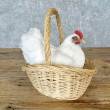 Domestic Chicken Hen Taxidermy Mount For Sale