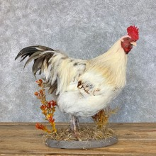 Domestic Chicken Rooster Bird Mount For Sale #23426 @ The Taxidermy Store