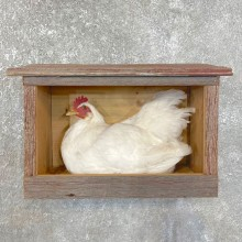 Domestic Chicken Rooster Bird Mount For Sale #24110 @ The Taxidermy Store