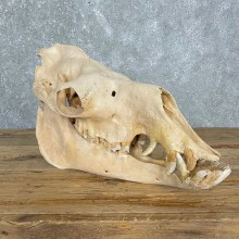 Dromedary Camel Full Skull For Sale #24135 @ The Taxidermy Store