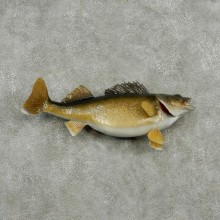 Walleye Life Size Freshwater Fish Mount #13506 For Sale @ The Taxidermy Store