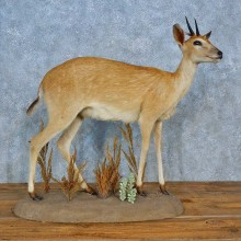 Duiker Life-Size Mount For Sale #15504 @ The Taxidermy Store