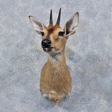 African Grey Duiker Shoulder #19170 For Sale @ The Taxidermy Store