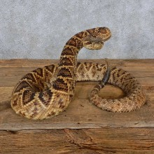 Eastern Diamondback Rattlesnake Mount For Sale #15599 @ The Taxidermy Store