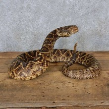 Eastern Diamondback Rattlesnake Mount For Sale #15600 @ The Taxidermy Store