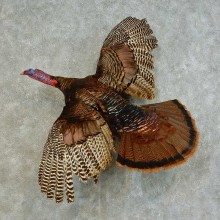 Eastern Turkey Bird Mount For Sale #16347 @ The Taxidermy Store