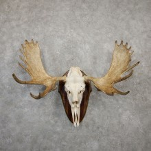 Eastern Canadian Moose Antler Plaque For Sale #20019 @ The Taxidermy Store
