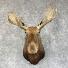 Eastern Canadian/Maine Moose Shoulder Taxidermy Mount For Sale
