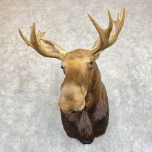 Eastern Canadian Moose Shoulder Taxidermy Mount For Sale #21740 @ The Taxidermy Store