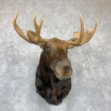 Eastern Canadian Moose Shoulder Taxidermy Mount For Sale #23128 @ The Taxidermy Store