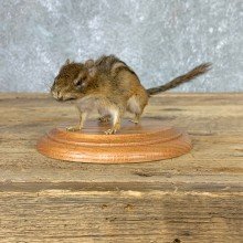 Eastern Chipmunk Life-Size Mount For Sale #22934 @ The Taxidermy Store