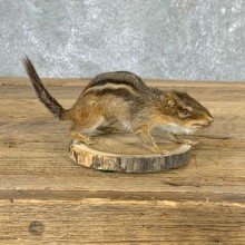 Eastern Chipmunk Life-Size Mount For Sale #22936 @ The Taxidermy Store