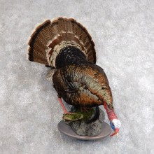 Merriam's Turkey Bird Mount For Sale #18569 @ The Taxidermy Store
