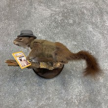Ecologist Squirrel Novelty Mount For Sale #21271 @ The Taxidermy Store