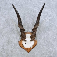African Eland Horn Plaque Mount For Sale #14457 @ The Taxidermy Store