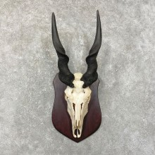 Eland Skull & Horn European Taxidermy Mount For Sale