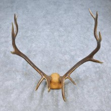 Tian Shan Wapiti Antler Mount For Sale #15057 @ The Taxidermy Store