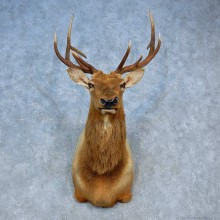 Rocky Mountain Elk Shoulder Mount For Sale #15510 @ The Taxidermy Store