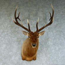 Rocky Mountain Elk Shoulder Taxidermy Mount #13462 For Sale @ The Taxidermy Store