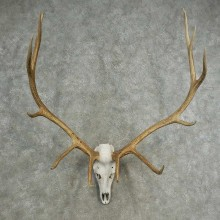 Rocky Mountain Elk Skull European Mount For Sale #16899 @ The Taxidermy Store