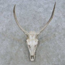 Elk Skull Antler European Mount For Sale #15158 @ The Taxidermy Store