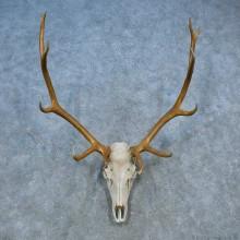 Elk Skull Antler European Mount For Sale #15526 @ The Taxidermy Store