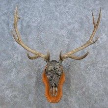Elk Skull Antler European Mount For Sale #15587 @ The Taxidermy Store