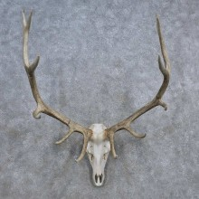 Elk Skull Antler European Mount For Sale #15690 @ The Taxidermy Store