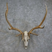 Elk Skull Antler European Mount For Sale #15726 @ The Taxidermy Store