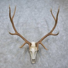 Elk Skull & Antler European Mount For Sale #15814 @ The Taxidermy Store