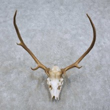 Elk Skull & Antler European Mount For Sale #15815 @ The Taxidermy Store
