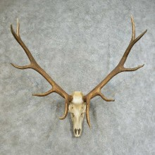 Elk Skull & Antler European Taxidermy Mount For Sale #16117 @ The Taxidermy Store