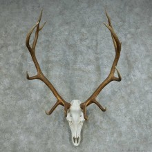 Rocky Mountain Elk Skull & Horns Mount #13681 For Sale @ The Taxidermy Store