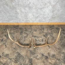 Elk Antler Craft Pack For Sale #25102 @ The Taxidermy Store