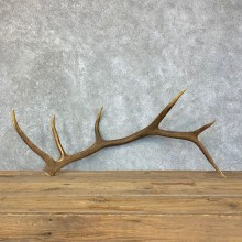 Elk Antler Shed For Sale #22715 @ The Taxidermy Store