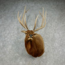 Rocky Mountain Elk Shoulder Mount For Sale #17366 @ The Taxidermy Store