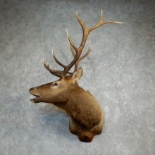 Rocky Mountain Elk Shoulder Mount For Sale #18223 @ The Taxidermy Store