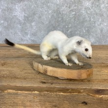 Ermine Life-Size Mount For Sale #21844 @ The Taxidermy Store