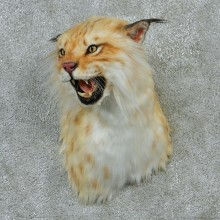 Eurasian Lynx Taxidermy Shoulder Mount #12906 For Sale @ The Taxidermy Store