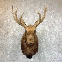Eurasian Elk (European Moose) Shoulder Taxidermy Mount For Sale