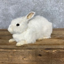 European Rabbit Life-Size Taxidermy Mount For Sale #23471 @ The Taxidermy Store