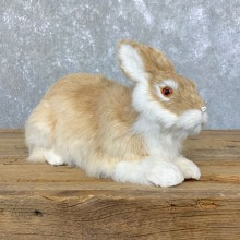 European Rabbit Life-Size Taxidermy Mount For Sale #23923 @ The Taxidermy Store