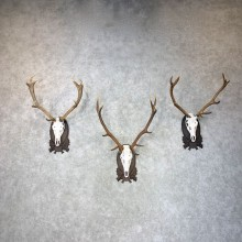European Red Stag Skull Display For Sale #24019 @ The Taxidermy Store