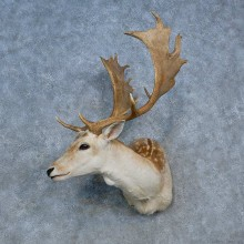 Fallow Deer Shoulder Mount For Sale #15323 @ The Taxidermy Store