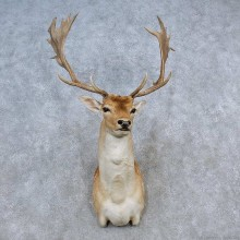 Fallow Deer Shoulder Mount For Sale #15585 @ The Taxidermy Store