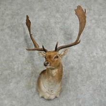 Fallow Deer Shoulder Mount For Sale #16044 @ The Taxidermy Store