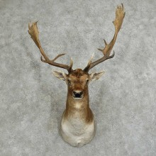 Fallow Deer Shoulder Mount For Sale #16045 @ The Taxidermy Store
