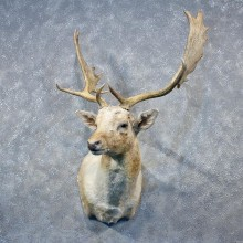 Fallow Deer Shoulder Mount #10301 For Sale @ The Taxidermy Store